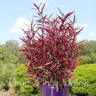 Alternanthera ficoidea 'Red Threads'