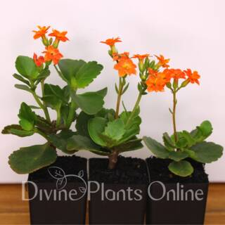 Kalanchoe blossfeldiana Orange