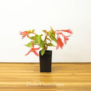 Begonia Bossa Nova