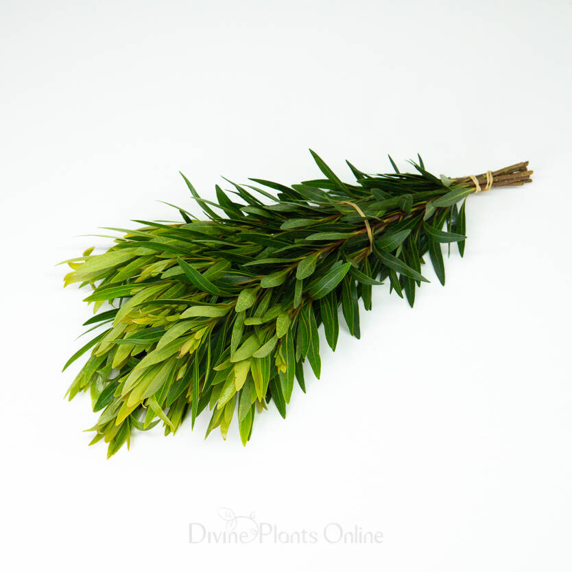 Baby Penda - Foliage