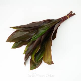 Cordyline Rubra - Foliage