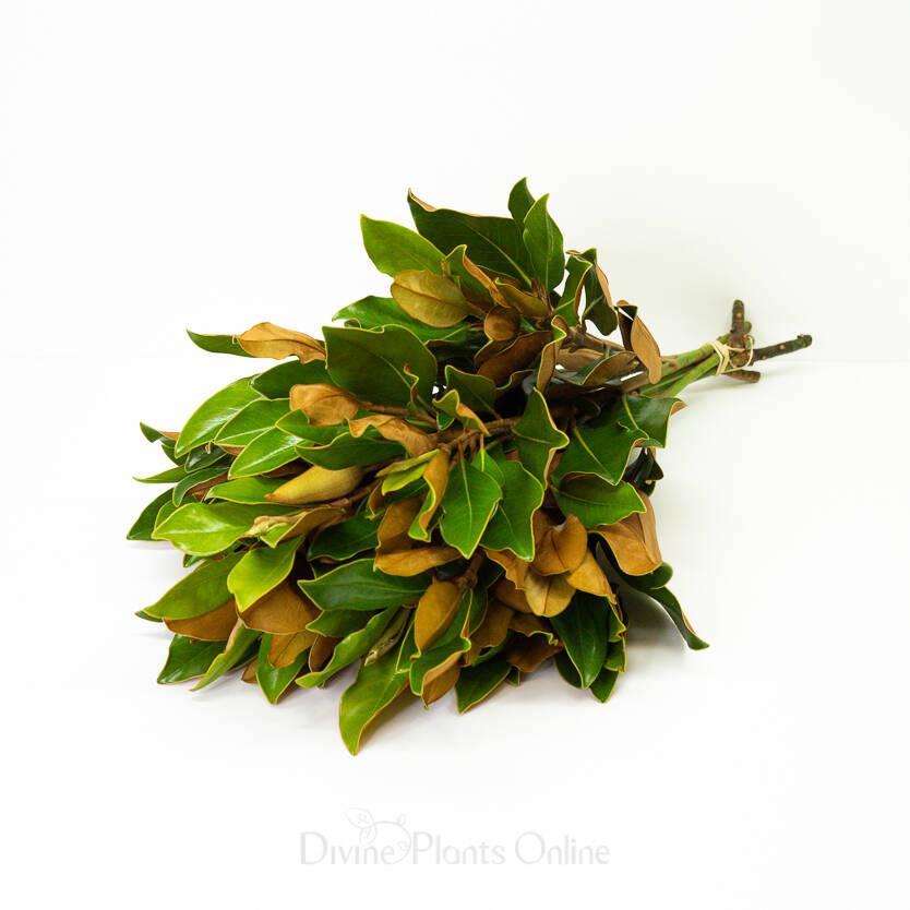 Southern Magnolia - Foliage