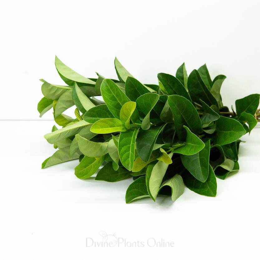 Sweet Viburnum - Foliage