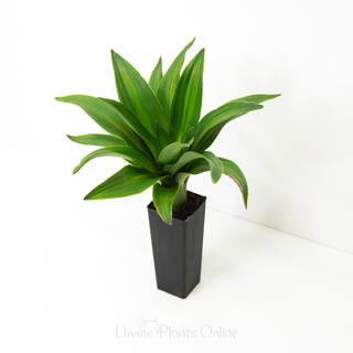Dracaena Massangeana 'Happy Plant'