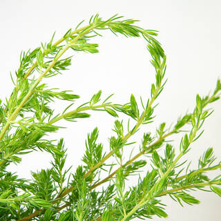 Shore Juniper - Foliage