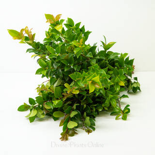 Bush Christmas Lilly Pilly - Foliage