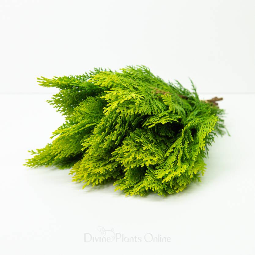 Oriental Arbour-Vitae - Foliage