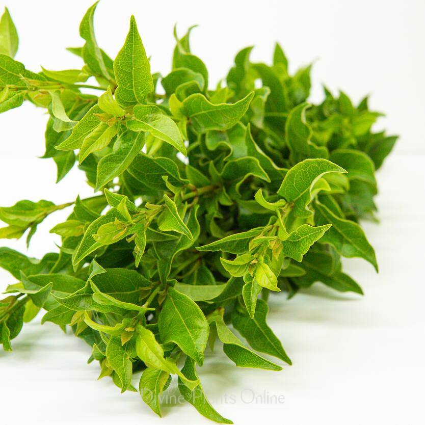 Lauristinus - Foliage