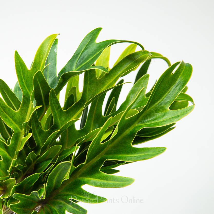 Xanadu - Foliage