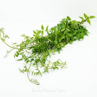 Bower of Beauty - Foliage