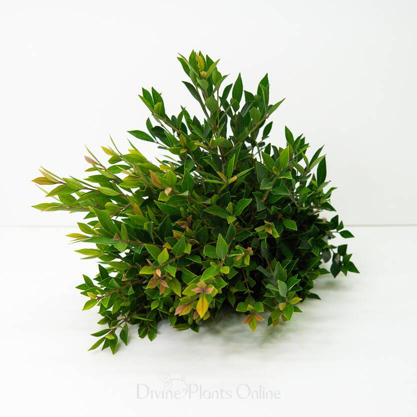 Dwarf Lilly Pilly - Foliage