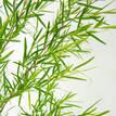 Leptospermum Longifolium - Foliage