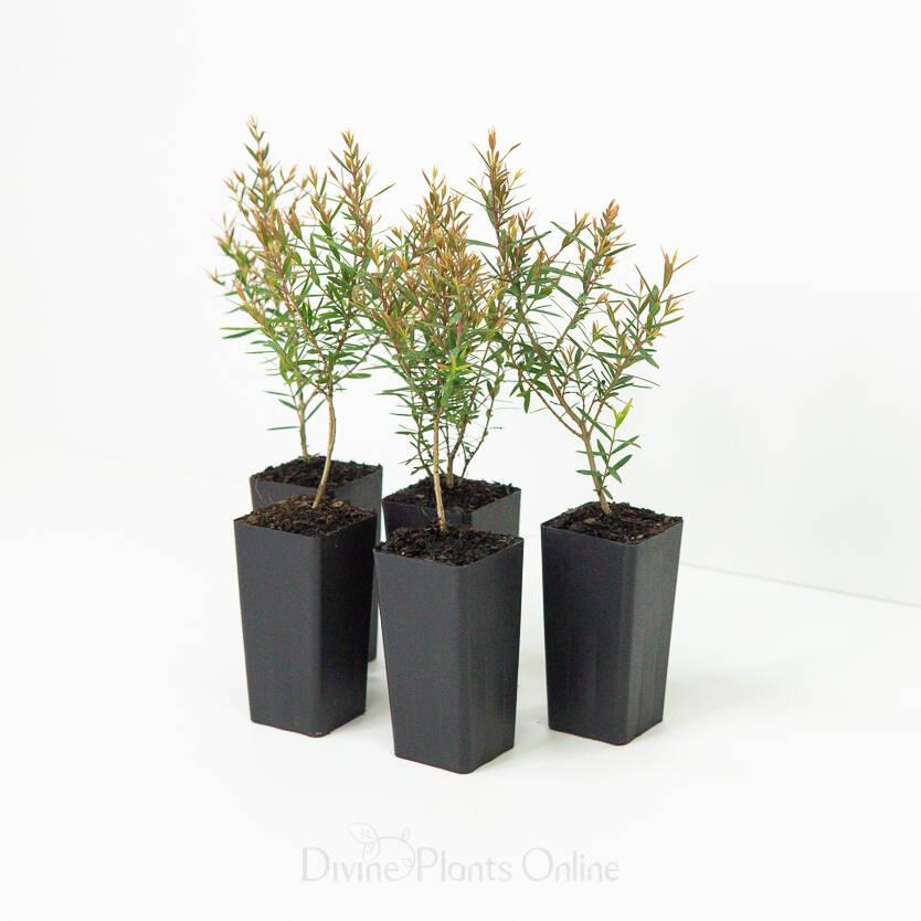 Melaleuca linariifolia Claret Tops