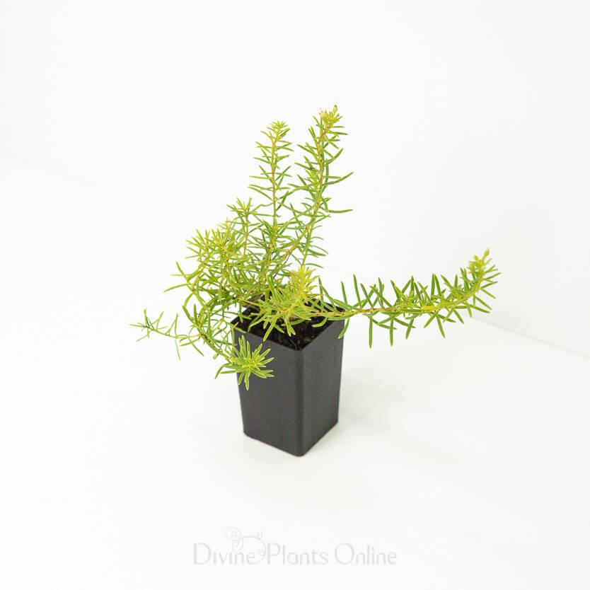 Myoporum parvifolium Fine Leaf