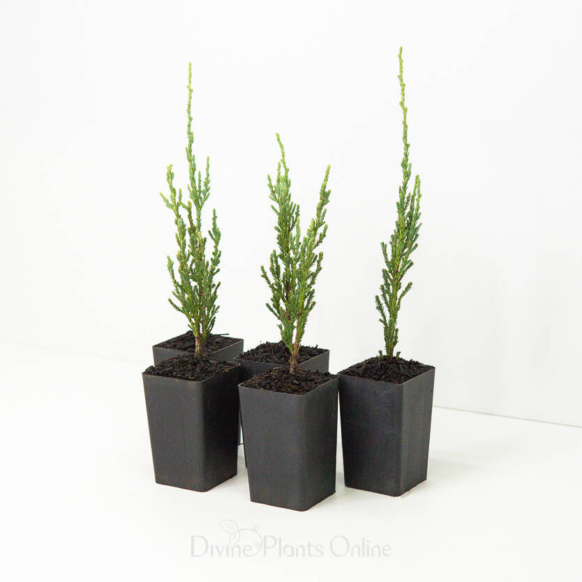 Juniperus Skyrocket