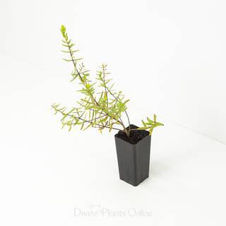 Melaleuca Violacea