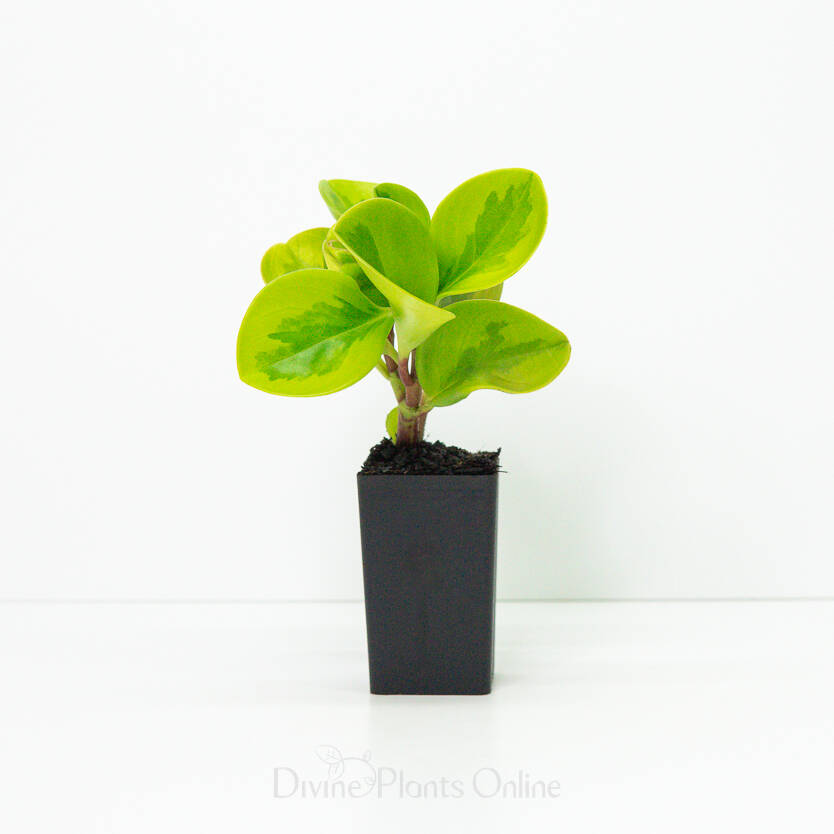 Peperomia Lemon and Lime