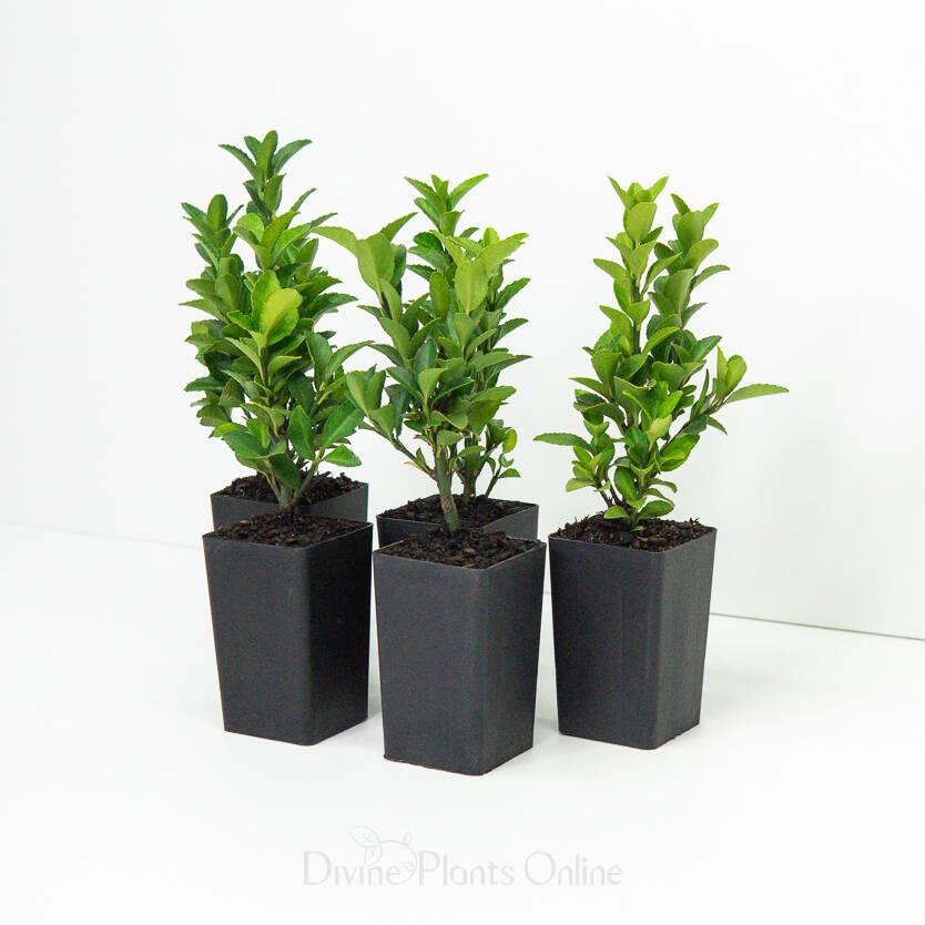 Euonymus japonica 'Green Rocket'