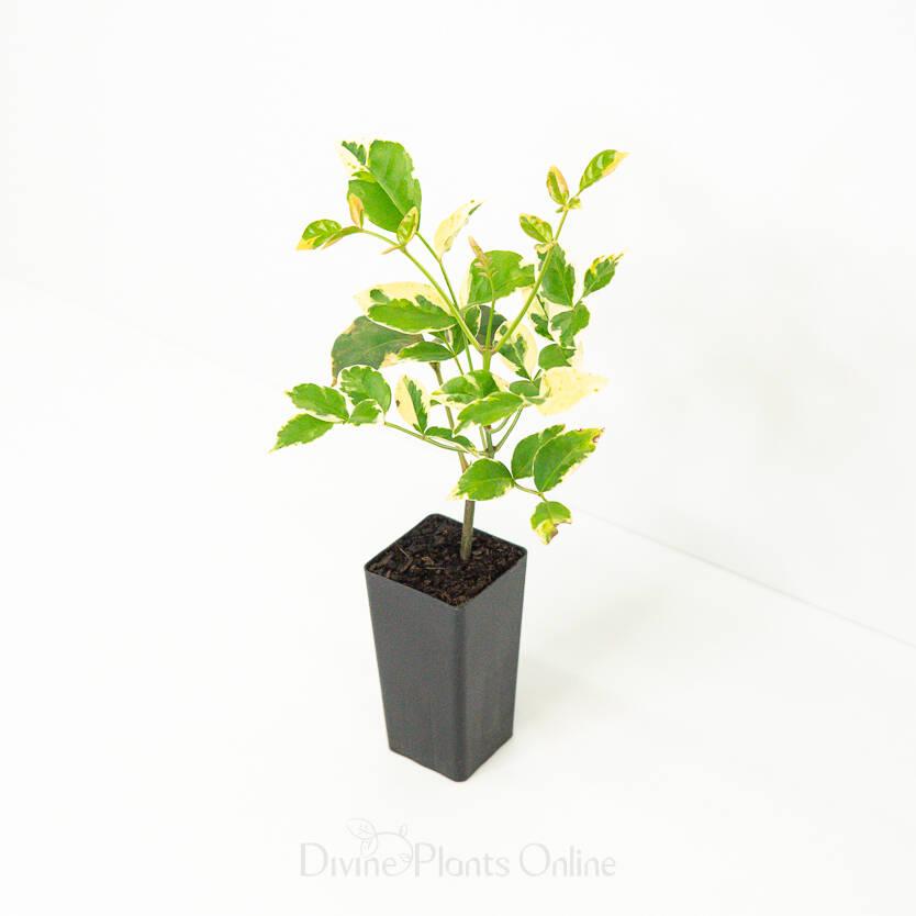 Pandorea jasminoides Variegata