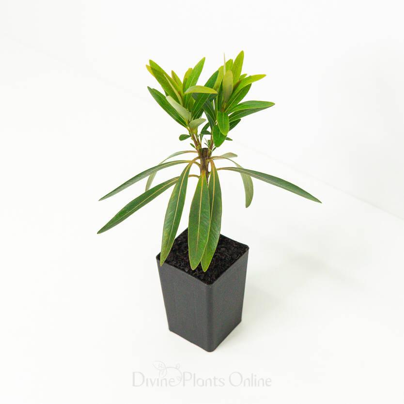 Xanthostemon chrysanthus Little Penda