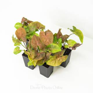 Syngonium Berry