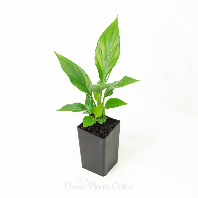 Spathiphyllum Clevelandii Merry