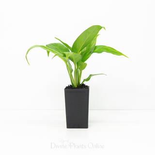 Spathiphyllum Mojo