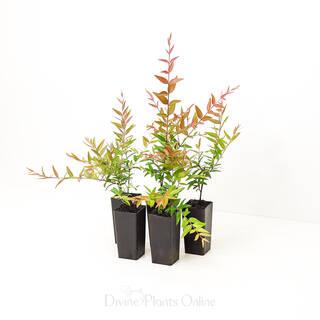 """Austromyrtus tenuifolia """"Midginberry"""""""
