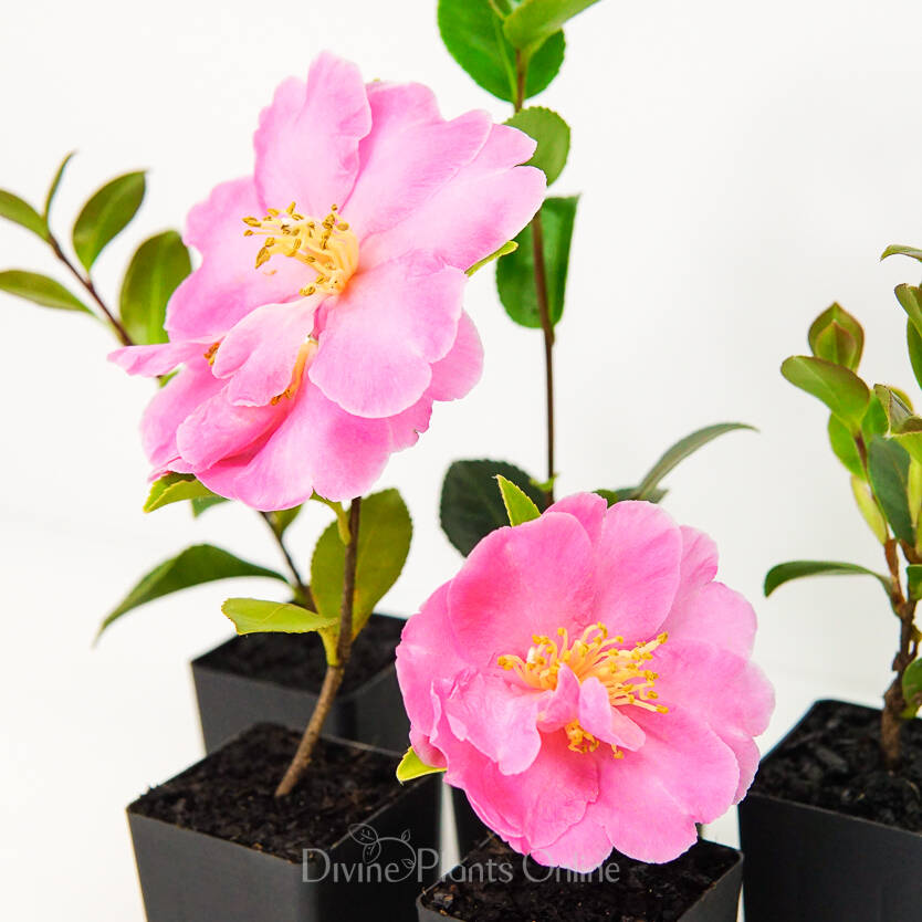Camellia hiemalis Showa-No-Sakae