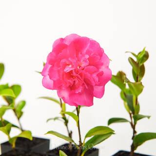 Camellia sasanqua Sparkling Burgundy