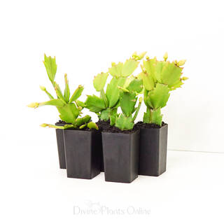 Schlumbergera truncata Zygocactus Christmas Delight