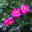 Camellia sasanqua Dazzler
