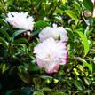 Camellia sasanqua Pure Silk