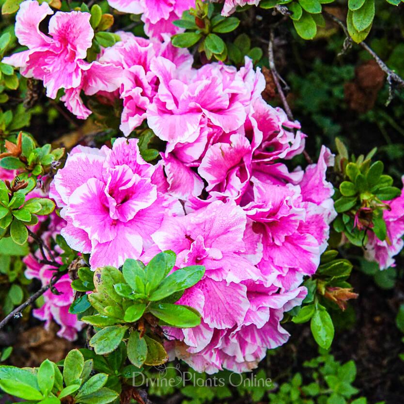 Azalea indica Inga