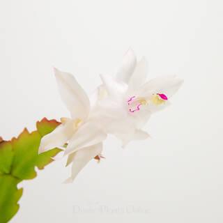 Schlumbergera truncata Zygocactus White