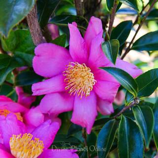 Camellia sasanqua Paradise Glow