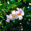 Radermachera Summerscent