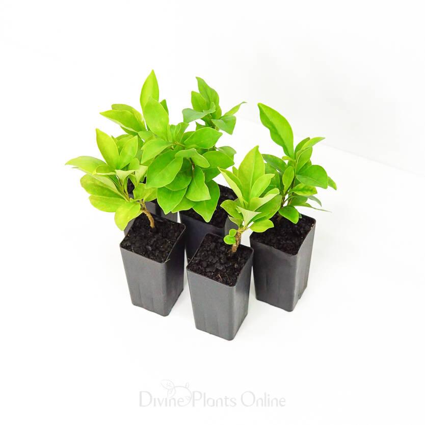 Brunfelsia latifolia compacta