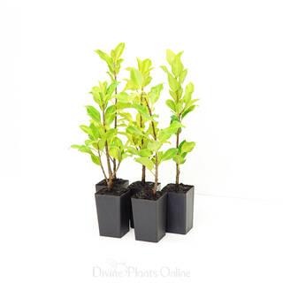 Ficus Emerald