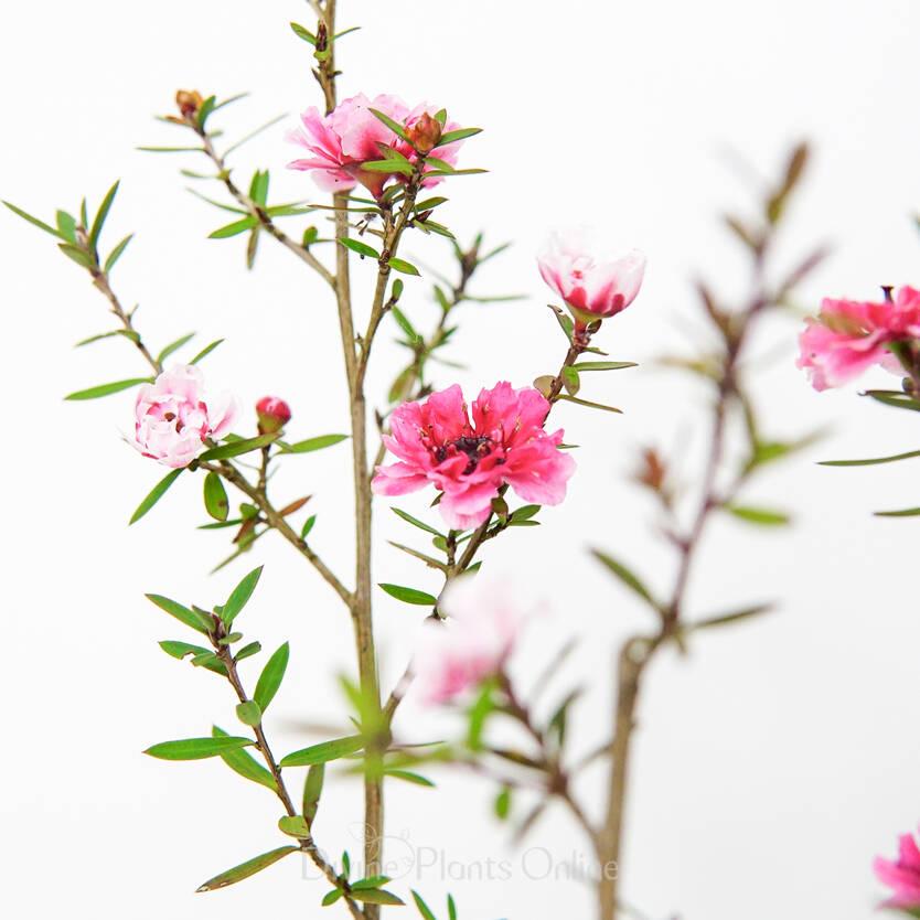 Leptospermum scoparium Ballerina