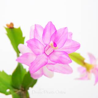 Schlumbergera truncata Zygocactus Rosa