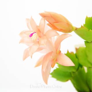 Schlumbergera truncata Zygocactus Peach