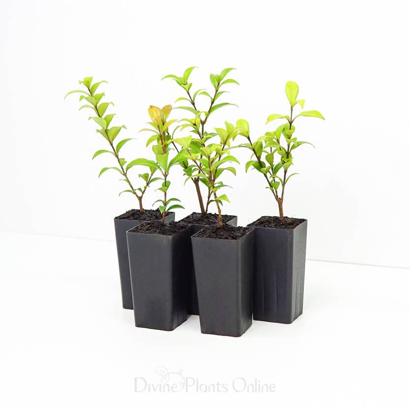 Backhousia myrtifolia