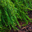 Phyllanthus minutiflora
