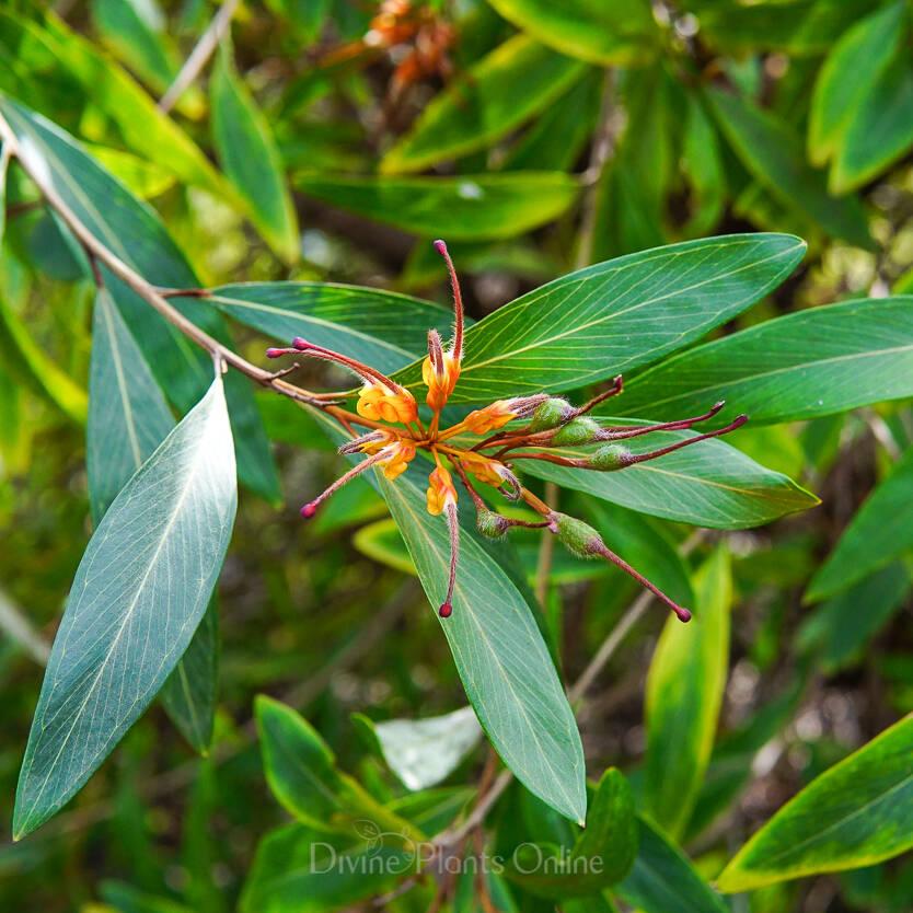 Grevillea Orange Marmalade