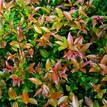 Syzygium australe Bush Christmas