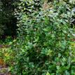 Rondeletia amoena