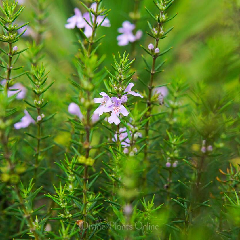 Westringia eremicola Lavender Breeze