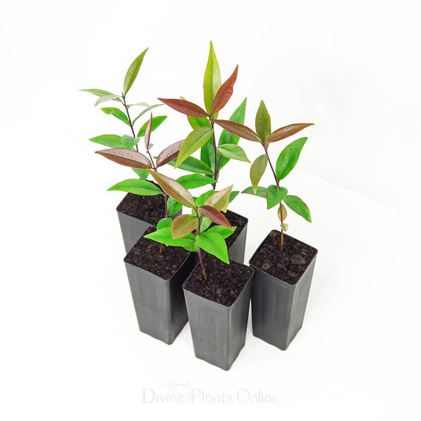Waterhousia floribunda