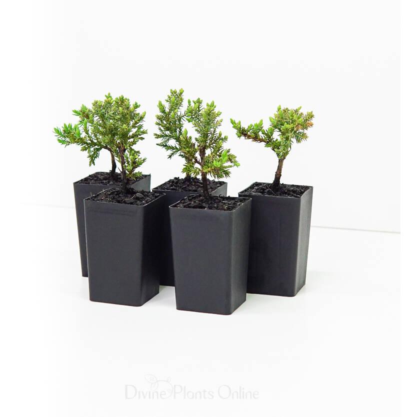 Juniperus Squamata Prostrata